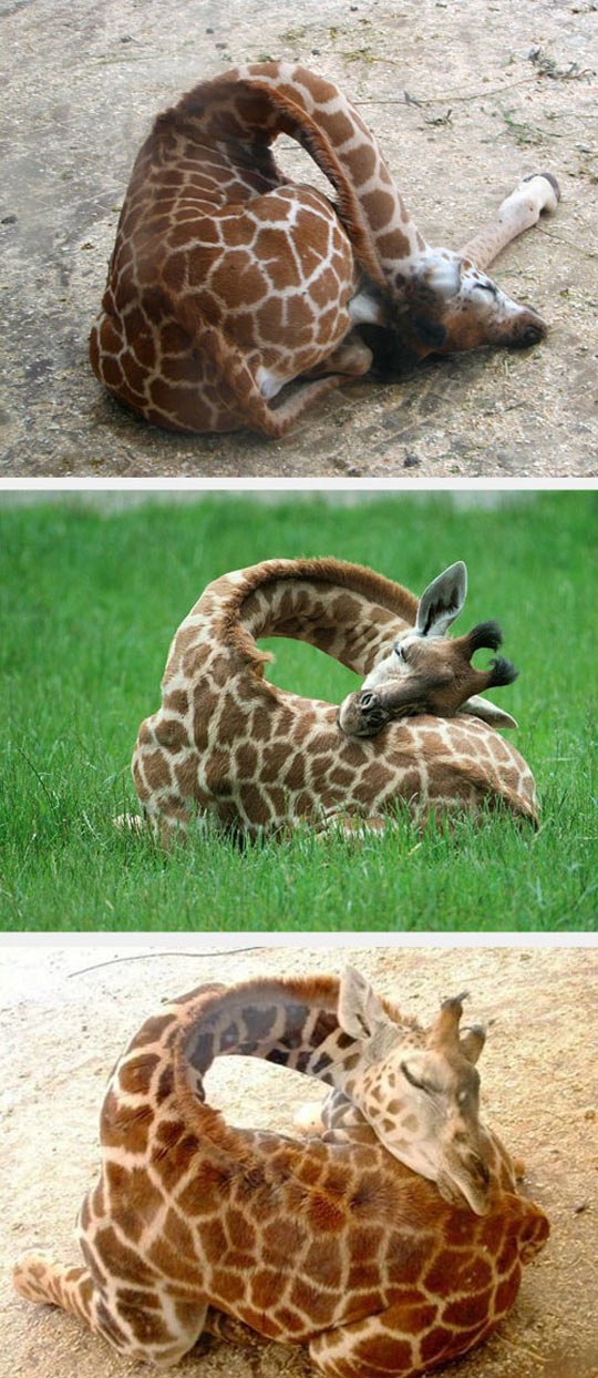 funny-giraffe-sleeping-cute-long-neck-baby