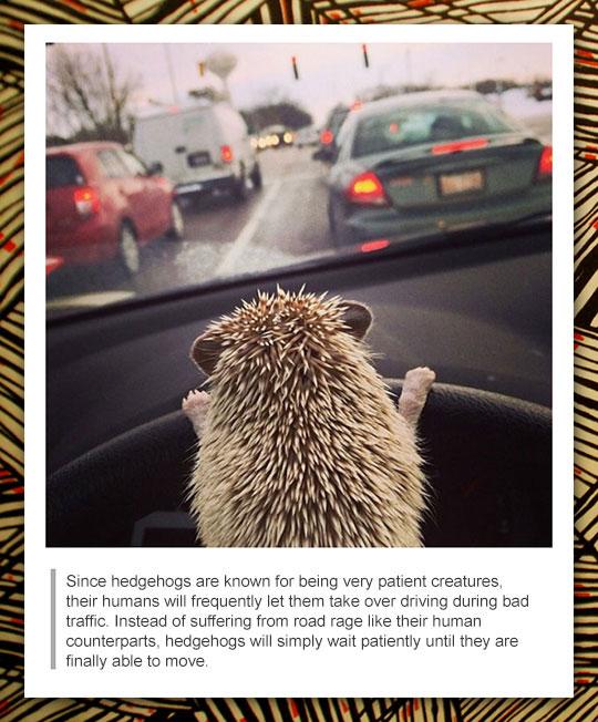 funny-hedgehog-driving-car-wheel