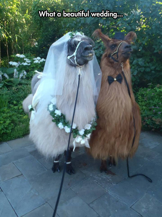 funny-llama-couple-bride-groom