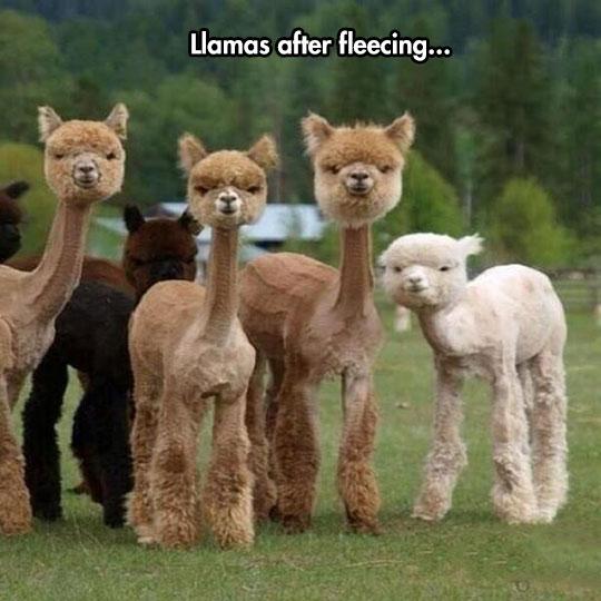 funny-llama-fleecing-fur-short