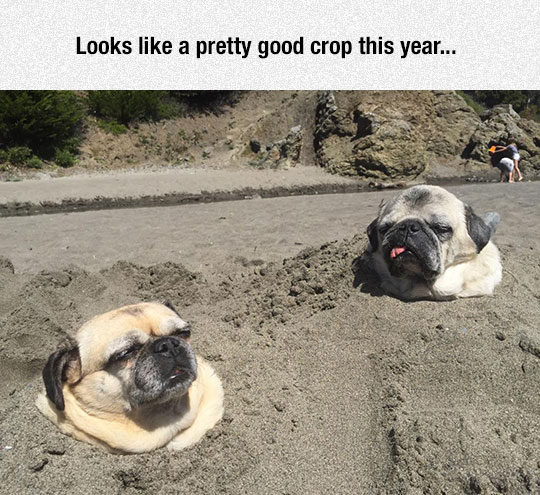 funny-pug-dogs-buried-sand