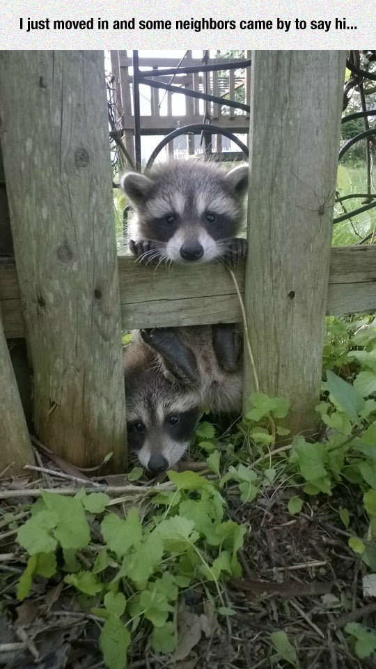 funny-raccoons-cute-babies-fence