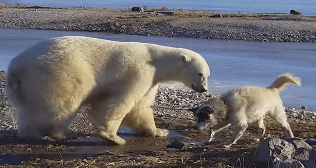 polar-bear-dog-video