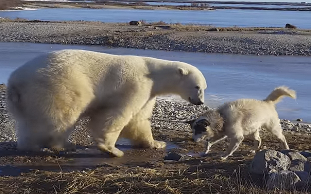 Polar Bear Pets Dog Barnorama