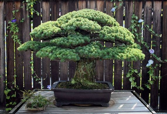 01-old_bonsai