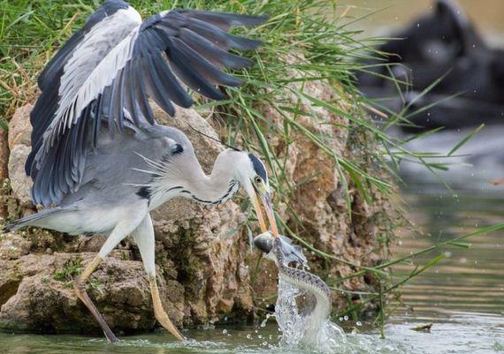 02-heron_vs_snakes