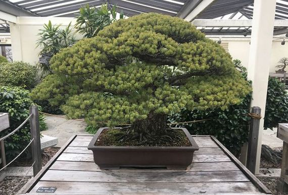 02-old_bonsai