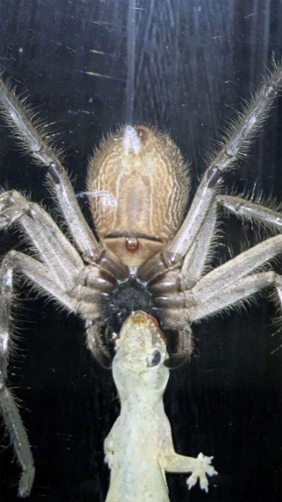 02-spider_eats_gecko