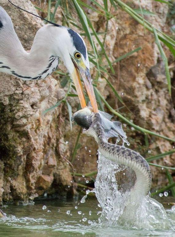 03-heron_vs_snakes