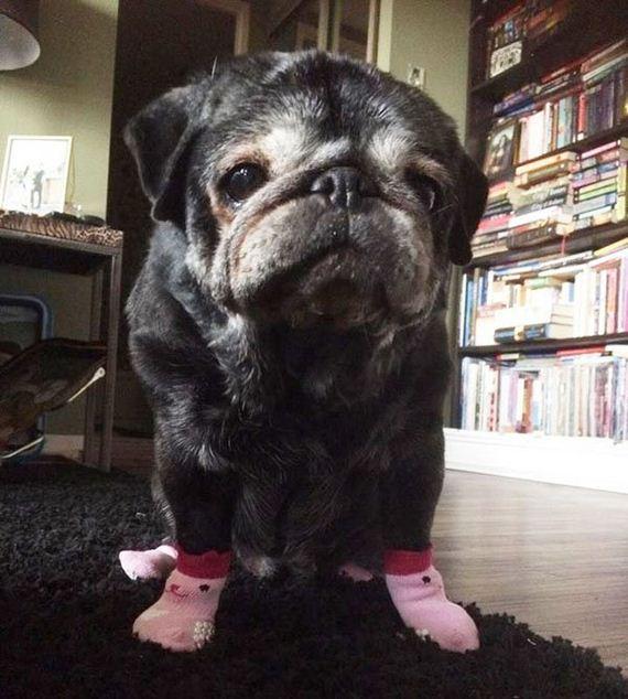04-pug-socks