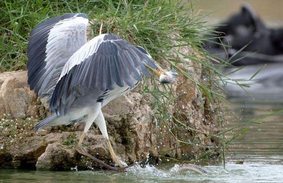 06-heron_vs_snakes