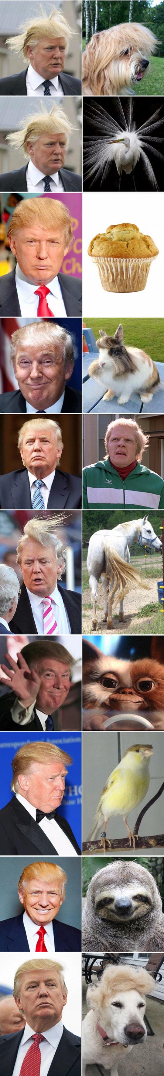 2funny-donald-trump-hair-cat-look-alike