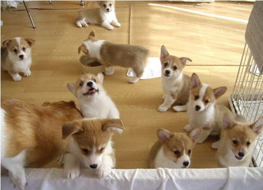 cool-cute-baby-corgies-playing