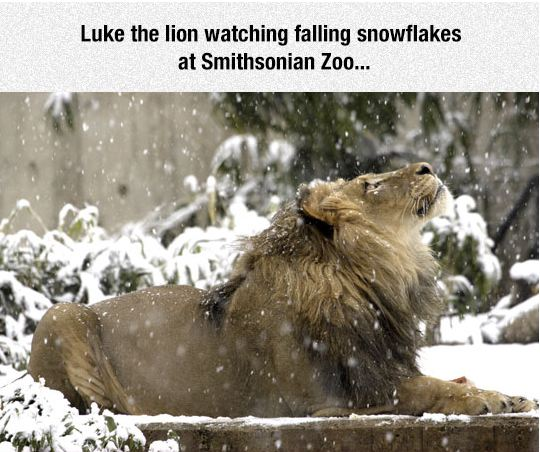 cool-lion-snow-zoo-luke