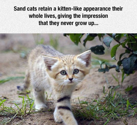 cute-sand-cat-kitten-adorable