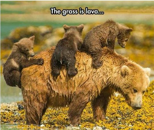 funny-bear-cubs-mom-river