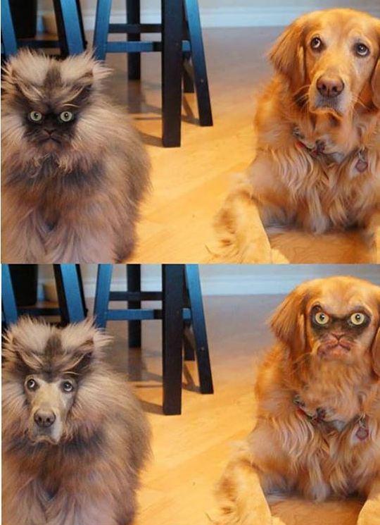 funny-cat-meow-dog-faceswap