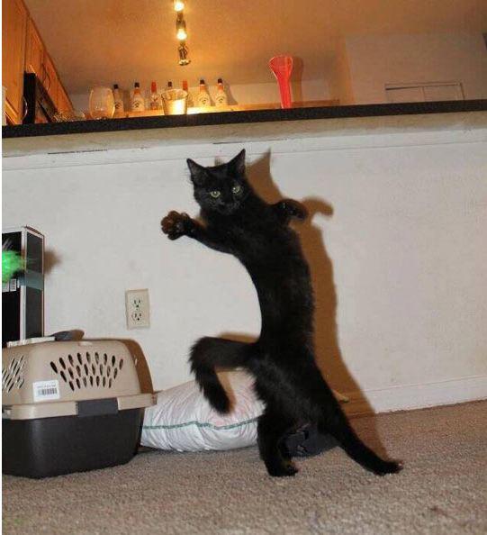 funny-cat-fabulous-walking