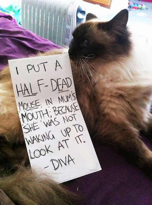funny-cat-shaming-diva-mouse-sign