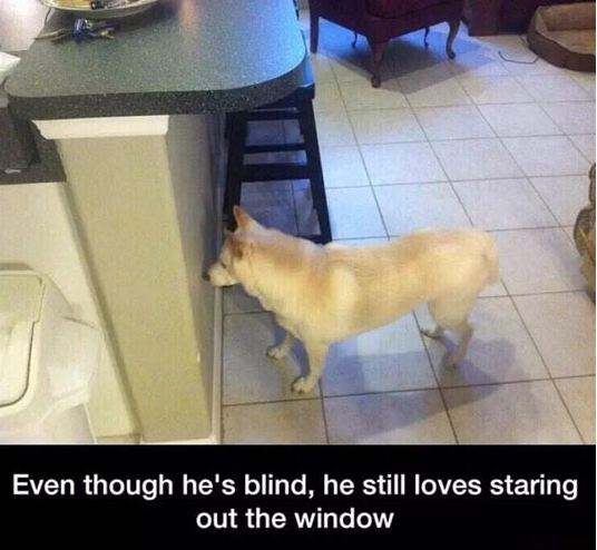 funny-dog-blind-looking-window