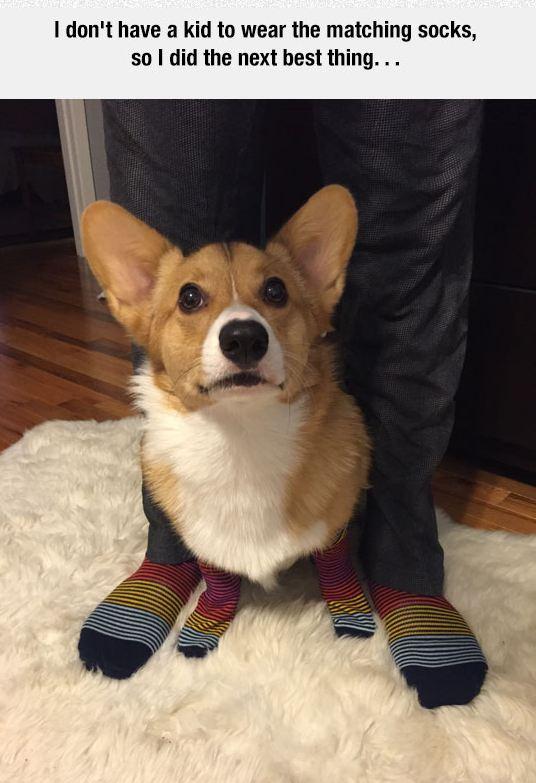 funny-dog-corgy-matching-socks