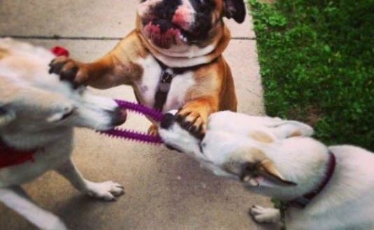 funny-dogs-fighting-bull-dog-worry