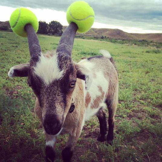 funny-goat-tennis-balls-horns