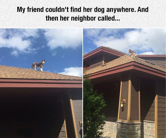 funny-husky-dog-roof-house
