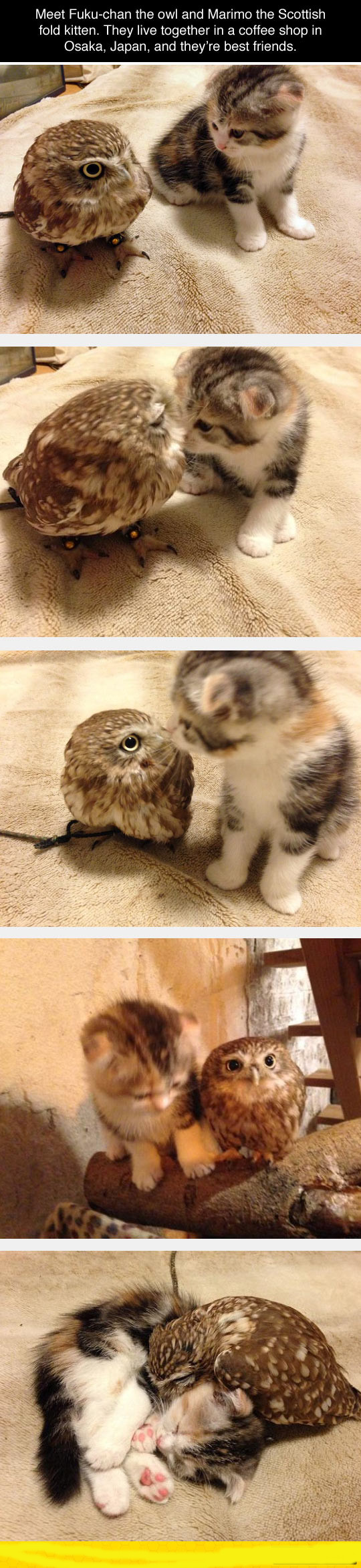 funny-kitten-owl-friends-japan
