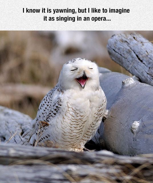 funny-owl-singing-face-yawning