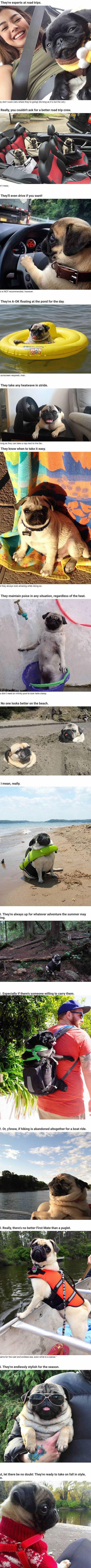 funny-pug-life-dogs-cute