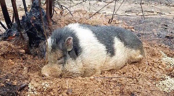 pet_pig_waiting0