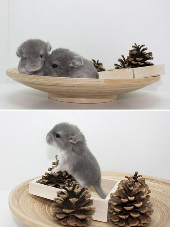 02-baby_chinchillas