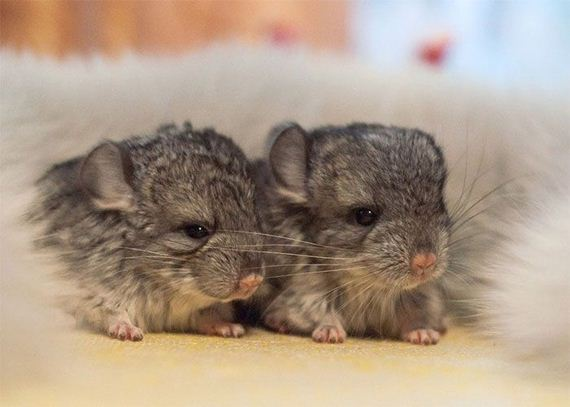 03-baby_chinchillas