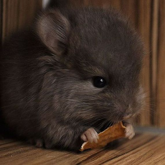 04-baby_chinchillas