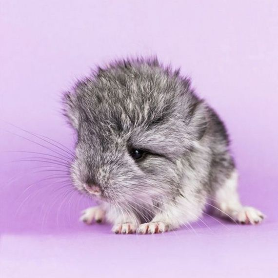 07-baby_chinchillas