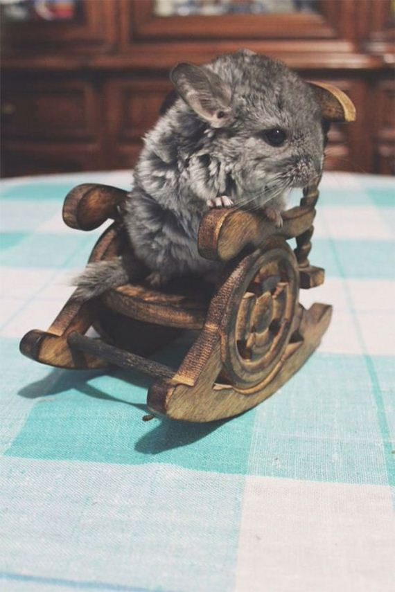 09-baby_chinchillas