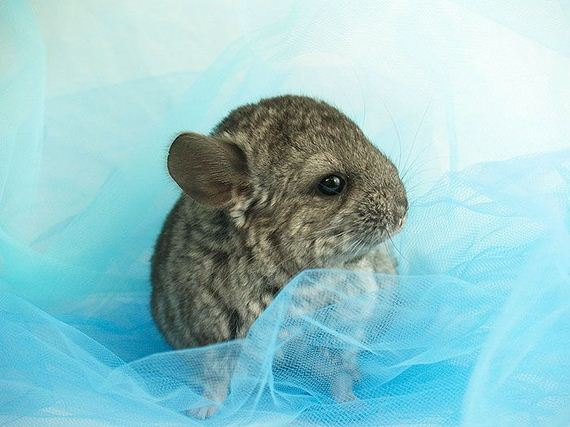 10-baby_chinchillas