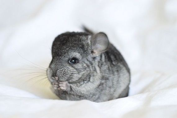 11-baby_chinchillas