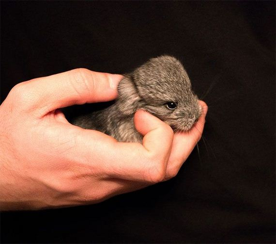 12-baby_chinchillas