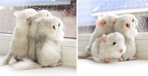 14-baby_chinchillas