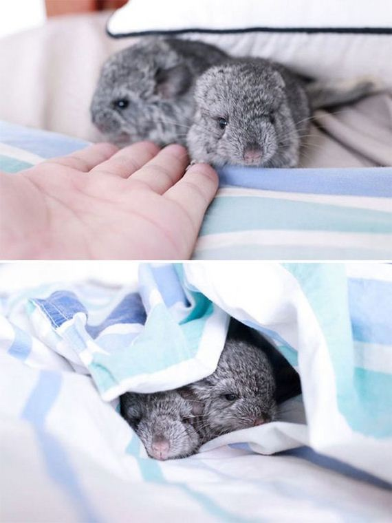 15-baby_chinchillas