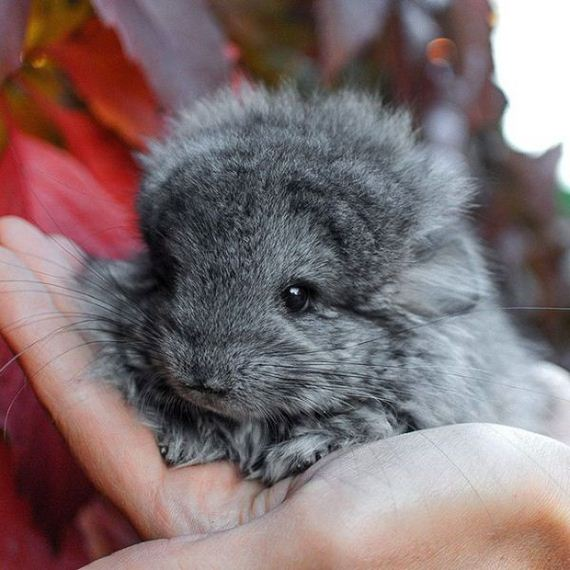 16-baby_chinchillas