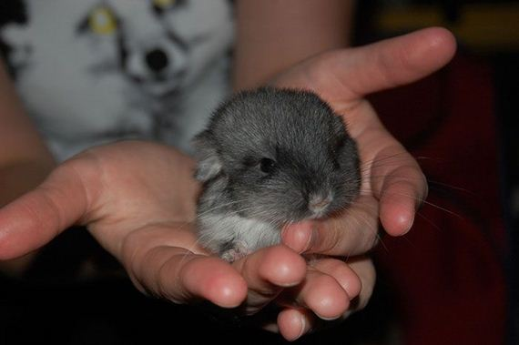19-baby_chinchillas