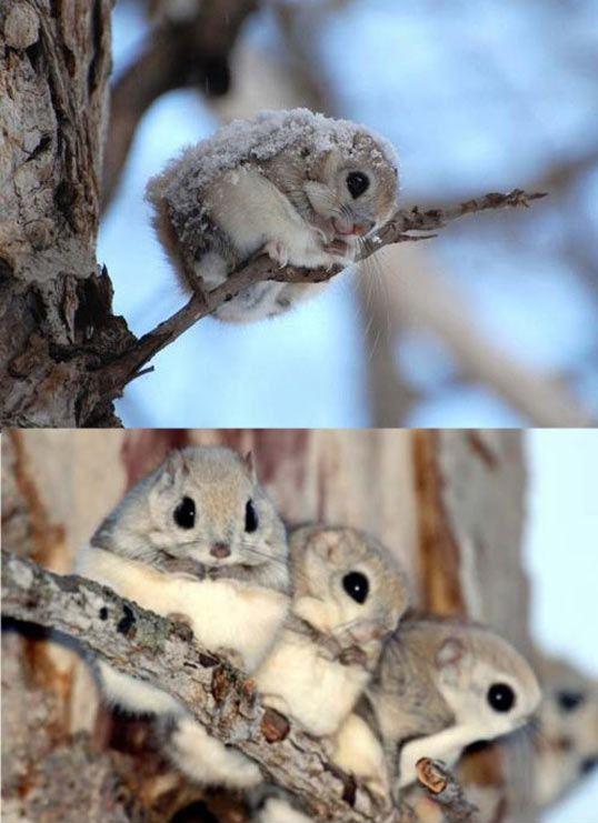cool-japanese-dwarf-flying-squirrels