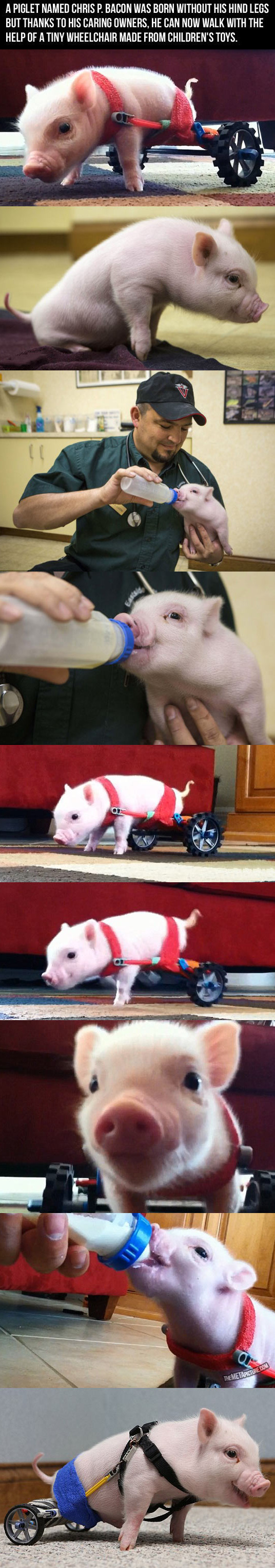 cool-baby-pig-wheels