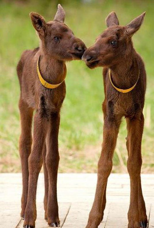 cool-moose-babies-little