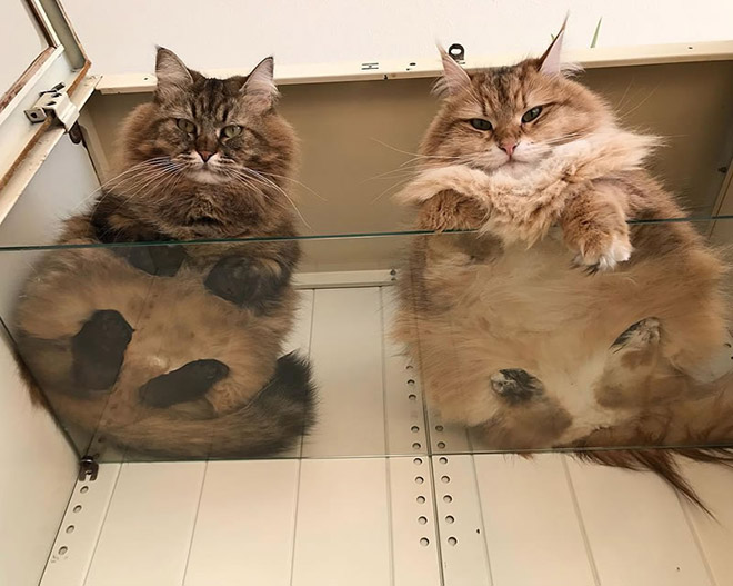 20 Cats On Glass Tables - Barnorama