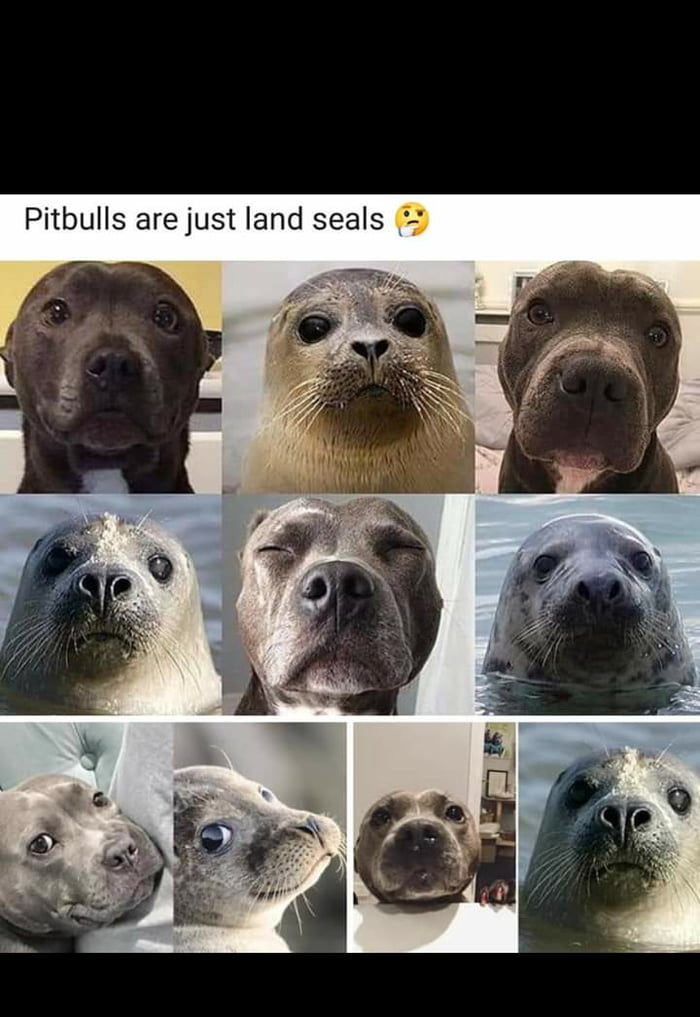 Pit Bulls Are Just Land Seals Barnorama