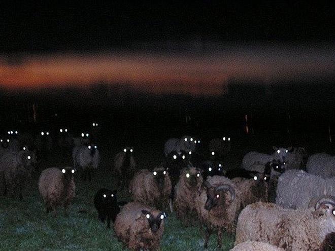 Sheep At Night Look Terrifying Barnorama